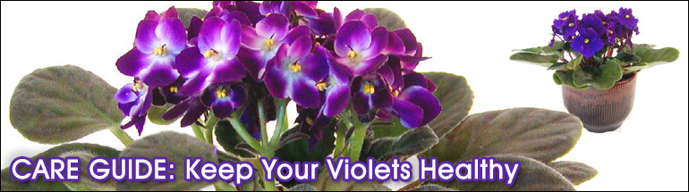 Violets for Home or Office
