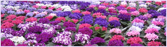 Optimara African Violets Retail