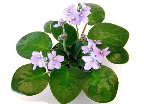 how to get your african violets to bloom